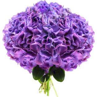 Гортензия фиолетовая